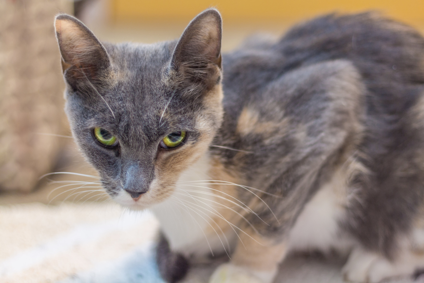 Bella, 35877705, is a female 1-year-old cat, Flagler Humane Society. Photo courtesy of FHS