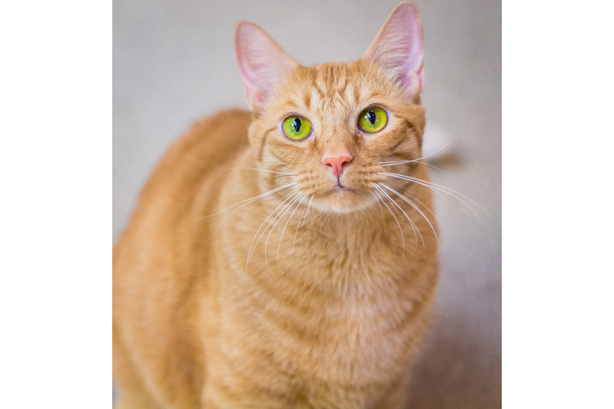 Bud-Bud, 35281377, is a male 3-year old cat, Flagler Humane Society. Photo courtesy of FHS