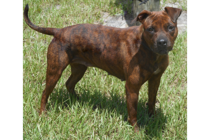 Emma, 36010033, is a female 4-year-ld terrier mix, available at Flagler Humane Society. Photo courtesy of FHS