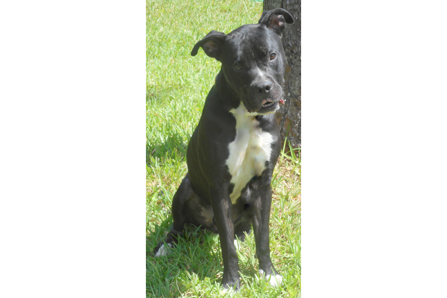 Silo, 35819252, is a male 1 ½-year-old terrier mix, available Flagler Humane Society. Photo courtesy of FHS