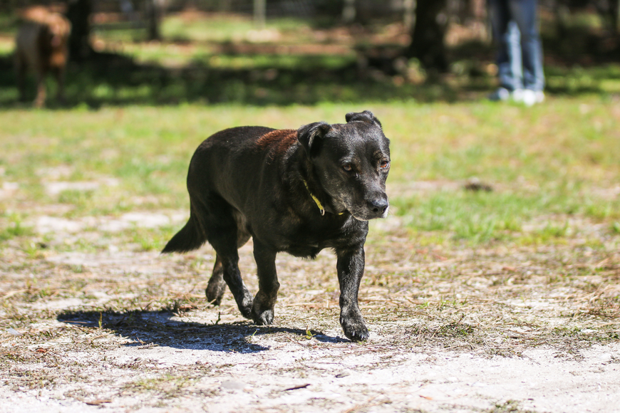Black Dog runs in his new 8-acre yard. Photo by Paige Wilson