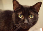 Ronda, 31269236, is a 5-year-old, female cat, available at Halifax Humane Society. Courtesy photo